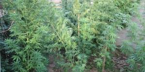 MUP TK: Oduzeta 41 stabljika indijske konoplje u Gračanici