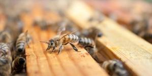 INZ savjetuje: Zašto je neophodan proljetni pregled pčelinjaka – vrijeme je za najopasnijeg parazita pčela