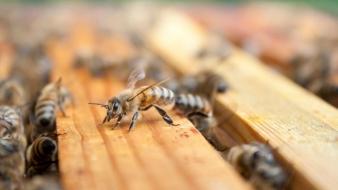 Obavještenje za građane: Besplatno i stručno uklanjanje rojeva pčela