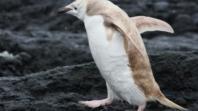 Na Galapagosu otkriven bijeli pingvin