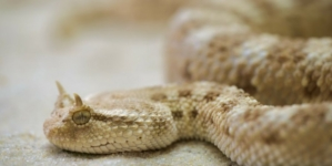 Škapur: U susretu sa zmijom obuzdati strah i zaobići je, biti oprezan u prirodi