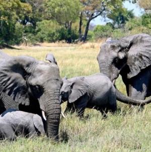 Evakuirano 150.000 ljudi zbog migrirajućih slonova u Kini